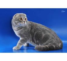 Вязка. шотландский вислоухий кот - Вязка в Крыму