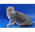 вязка. шотландский вислоухий кот - Вязка в Симферополе