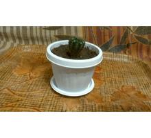 Продам кактус с мягкими иголками - Саженцы, растения в Севастополе