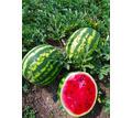 Продам Арбуз Сахарный, с поля - Эко-продукты, фрукты, овощи в Красногвардейском