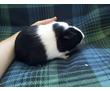 Морская свинка породы американский тедди, г/ш,шелти, фото — «Реклама Симферополя»