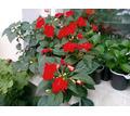Бальзамин Уоллера красный - Саженцы, растения в Симферополе