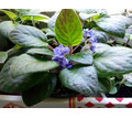 Фиалка голубая, красавица.с - Саженцы, растения в Симферополе