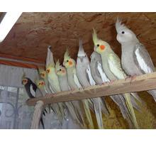Попугаи Корелла - купить в Севастополе - Птицы в Севастополе