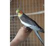 Попугаи Корелла - купить в Севастополе, фото — «Реклама Севастополя»