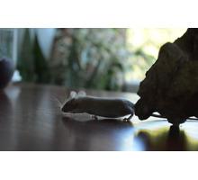 Декоративные сатиновые мышки - Грызуны в Симферополе
