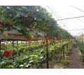 Сбор ягод и уход за растениями - Сельское хозяйство, агробизнес в Красногвардейском