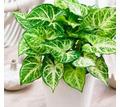 Сингониум Вайт Баттерфляй - Саженцы, растения в Севастополе