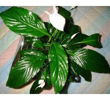 Спатифиллум - женское счастье - Саженцы, растения в Севастополе