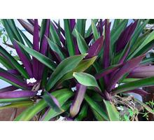 Растение Рео или Традесканция покрывальчатая: экзотика на подоконнике - Саженцы, растения в Севастополе