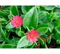 Аптения — цветущий суккулент, который растёт на глазах - Саженцы, растения в Севастополе