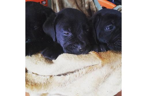 Щенки кане корсо на продажу - Собаки в Красноперекопске