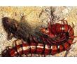 Уничтожение сколопендр за 30 минут в Евпатории! Гарантия уничтожения -100%! 24/7 ! Жмите!, фото — «Реклама Евпатории»