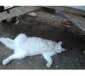 Пропала белая кошечка Севастополь Фиолент Селена, Строитель и кооперативы неподалёку - Бюро находок в Севастополе