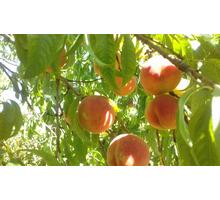 Продам сад персика и черешни вблизи села Угловое - Участки в Бахчисарае