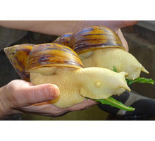 Улитята в надежные  и любящие руки - Аквариумные рыбки в Крыму