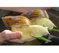 Улитята в надежные  и любящие руки - Аквариумные рыбки в Симферополе
