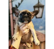 Щенки французского бульдога - Собаки в Ялте