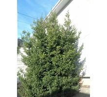 Продам под срез (для коммерции )большое лавровое дерево - Продукты питания в Алуште