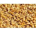 Продажа:  ячмень,  пшеница, дерть - Сельхоз корма в Саках