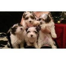 Бивер щенки с родословной - Собаки в Ялте