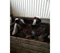 Продаётся чистокровный англо-нубийский козлик - Сельхоз животные в Крыму