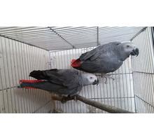 Куплю Жако возможно парой - Птицы в Симферополе