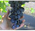 Саженцы винограда. Достойный виноградник. - Саженцы, растения в Крыму