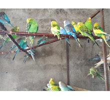 Продам волнистых попугаев г.Саки - Птицы в Крыму