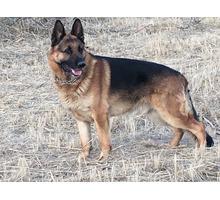 Продам щенка немецкой овчарки - Собаки в Симферополе