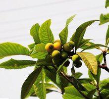 Мушмула, лавр, юкки, бамбук, веерные пальмы, багрянник (церцис), кубинский тростник, гранат, самшит - Саженцы, растения в Ялте