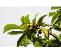 Мушмула, лавр, юкки, бамбук, веерные пальмы, багрянник (церцис), кубинский тростник, гранат, самшит - Саженцы, растения в Крыму