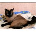 Тайские котята от чистокровных родителей - Кошки в Симферополе
