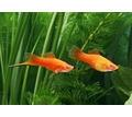 Аквариумные рыбки  мелким оптом - Аквариумные рыбки в Керчи