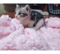 Отдадим даром котёнка срочно в надёжные руки - Кошки в Симферополе