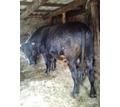 Продам быка черной масти на мясо - Сельхоз животные в Джанкое