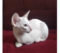 Ориентальные котята - продажа - Кошки в Евпатории