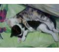 Две необыкновенные красавицы найдены очень маленькими ,ждут своего  хозяина - Кошки в Симферополе