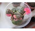 Продам хорошо укорененную акварельную эписцию Ember Lace. - Саженцы, растения в Крыму
