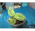 Продам драгоценную орхидею Macodes petola. - Саженцы, растения в Крыму