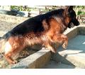 Продам щенков немецкой овчарки - Собаки в Алуште