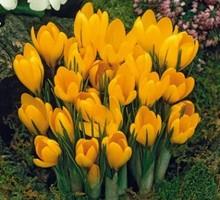 Луковицы крокусов желтых - Саженцы, растения в Севастополе