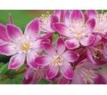 Цветы саженцы растения - Саженцы, растения в Симферополе