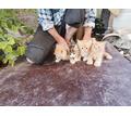 Отдам котят в хорошие руки - Кошки в Симферополе