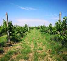 Предлагается к продаже виноградник,10 Га.Сорт Алиготе.Бахчисарайский район - Участки в Бахчисарае