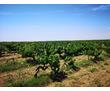Предлагается к продаже виноградник,10 Га.Сорт Алиготе.Бахчисарайский район, фото — «Реклама Бахчисарая»