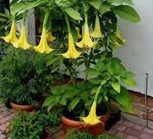 трубы ангела - бругмансия куст - Саженцы, растения в Ялте