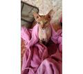 Пропала кошка Канадский сфинкс - Кошки в Севастополе
