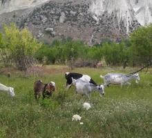 8 голов молочных козочек - Сельхоз животные в Бахчисарае