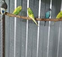 продам волнистиков - Птицы в Симферополе